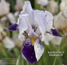 Iris BACH FUGUE  Stout Gardens at Dancingtree
