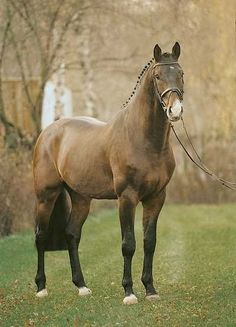 Corofino II Holsteiner Stallion. Corofino II had a phenomenal European record jumped more than 90% clear rounds from 1.45m to 1.60m 4m waters  http://www.equinetrader.co.nz/studbook1/globalperformancehorses/corofino%20ii/