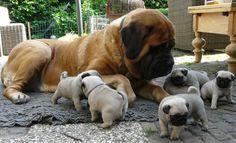 Pugs and Mastiff