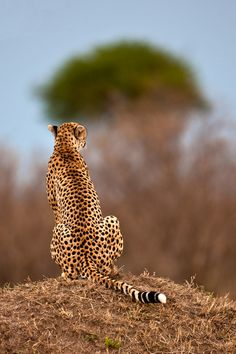 big cat, wild, cheetahs, anim, creatur, beauti, suha catman, cheetah 10, bigcat