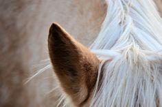 a horse's ear