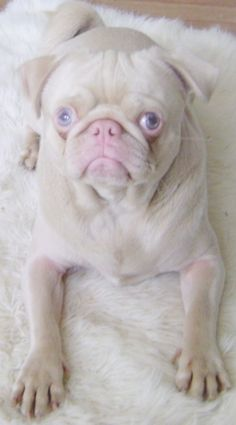 An albino pug. Such a beautiful little pug ( and nose!) when you get over the shock of no pigment.