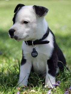 American Staffordshire Terrier Puppy - Click image to find more Animals Pinterest pins