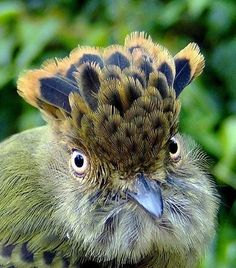 Scale-crested Pygmy Tyrant - Pixdaus