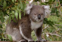 Koala Conservation Centre | Phillip Island