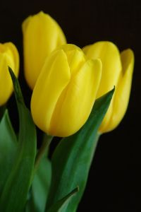 How to Grow Tulip Bulbs in Water | Garden Guides