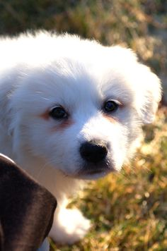 Great Pyrenees puppy. http://tipsfordogs.info/