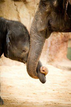 Elefanten, Liebe