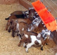 Milk Trains For Baby Goats