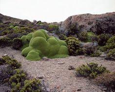 La Llareta - up to 3000 years old, Chile