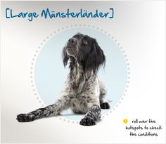 The Large Münsterländer is an athletic gun #dog averaging 60-65 lbs., with a medium-length black and white coat. His thick coat provides protection against the cold, but he can also do well in warmer climates. Plenty of exercise and a strong leader are especially important for him, and without both, he can become destructive and distressed. He is happiest when working, and does best in a home with a large yard.