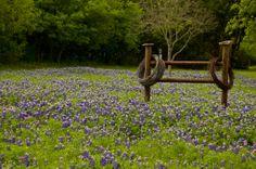Love this....Texas bluebonnets