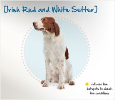 Despite her name, the Irish Red and White Setter is a distinct breed, not just a different colored version of the Irish Setter. Originating in the 17th century, she descended from the ancient livestock-herding dogs brought to Ireland by invading Roman armies. But by the early 19th century, she was nearly extinct, due in part to the overwhelming popularity of her all-red cousin. #dog-breed
