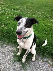 Exxon is an adoptable Pointer Dog in Indiana, PA.  ...