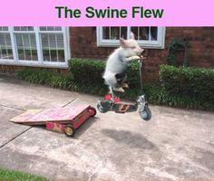 anim, funni stuff, swine flew, laugh, pig fli, pigs, funni pictur, humor, swineflew