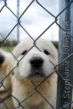 Great #Pyrenees puppies! http://tipsfordogs.info/...