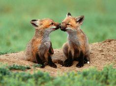 aww foxies