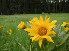 Arrowleaf Balsamroot - my motif.  Native to where I live, have always loved it.