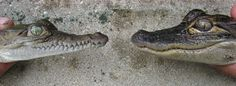 Know your Florida reptiles - Visual differences between Crocodiles and Alligators