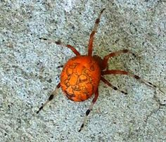 Author Amok: Orange you glad it's Poetry Friday, Sweet Pea? 2014 Poetry Project (Original poem) spider freakin, spiders, orange you glad, pumpkins, aka pumpkin, oranges, poetry, sweet peas, pumpkin spider