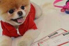 Boo - The World's Cutest Dog: Virgin America Facebook Photo Album companion to video + Pet Liaison concept