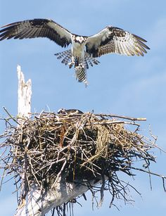 Osprey returning to its nest with a Sergeant Major on Sanibel Island, Lee County, Florida ~a~ nest, sanibel island