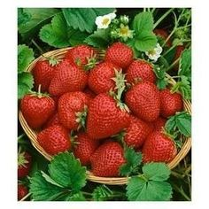 Grow Eversweet Everbearing Strawberry Plants.  Produce super-sweet strawberries from spring until the fall. Great fresh, in jams and jellies and frozen too. Plants are heat tolerant up to 100 degrees, without sacrificing taste.