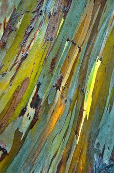 eucalyptus bark, photo by Janet Little