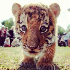 Awwww baby tiger!!