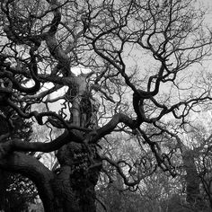Old Gnarly Trees