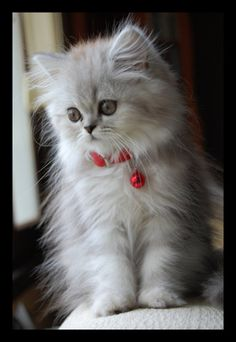 Fluffy kitten - and I want this one