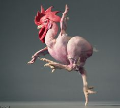 Near naked: A chicken pictured mid-stride with one eye on the camera
