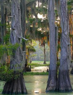 The largest cypress forest in the world at Caddo Lake, Texas/Louisiana...ALSO only natural (not man made) lake in Texas!