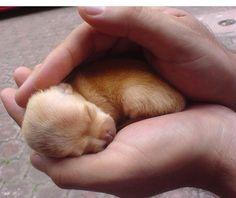 ohhhhh sweet chihuahua puppy