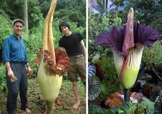 Titan Arum is one of the largest flowers in the world.It is also called the Corpse flower like Rafflesia, because of the foul smell it emits. It is seen in Sumatra and has the world's biggest inflorescense. It's flower head will come about 4-9 feet tall.