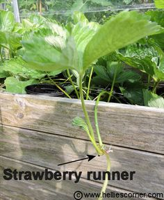 How to grow new strawberry plants (for free) - find a runner   Hellie's Corner