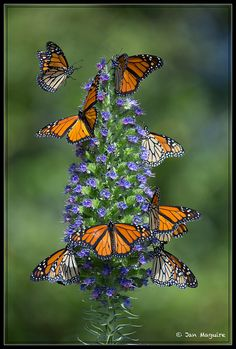 ~~Monarchs on Pride of Madeira 8496 by maguire33@verizon.net~~