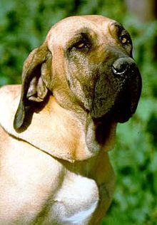 Fila Brasileiro - A.k.a. Brazilian Mastiff, Cao de Fila, Skob, The Tiger - Brazil - Aggressive dogs during showing, against the judges. Judges in Brazil have been warned not to touch this breed while judging. - Natural guardian