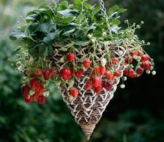 Love Strawberries? So do slugs & snails! Grown on the ground they can also suffer from fungal diseases that thrive in humid conditions. The solution? Grow them in a hanging basket. Takes advantage of extra vertical space, better air circulation, up off the ground away from slimy thieves and at easy reach for harvesting. More small space growing tips @ http://themicrogardener.com | The Micro Gardener