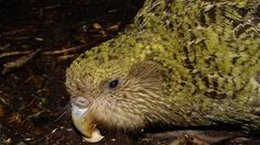 kakapo- the saddest species of bird I have ever read about.  Still want one.