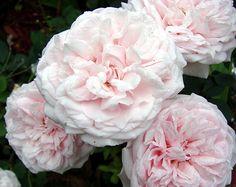 Souvenir de la Malmaison--gorgeous old garden rose.