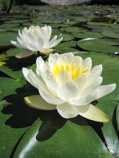 American white waterlilies/fragrant waterlilies (Nymphaea odorata) at Thrush Cove on Wincheck Pond, Rockville, Hopkinton, Rhode Island (RI) on June 7, 2014. The flowers are only open in the morning. Near the Protestant Cathedral on the Orange Trail at Camp #Yawgoog.  Image by David R. Brierley.