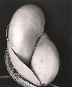 Edward Weston – Seashells