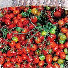 Tomato, Cherry Roma