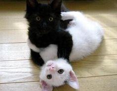 Haha kittens caught wrestling!