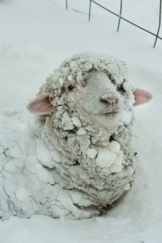 snow balls on sheep's wool