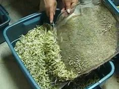 How to grow Mung bean sprouts ( with out roots ).wmv
