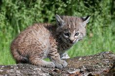 Baby Bobcat! So cute!
