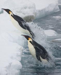 Emperor penguins #penguin #animallovers #animals