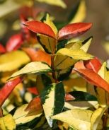 Japanese Star Jasmine (Trachelospermum asiaticum 'Ogon Nishiki') - Monrovia - Japanese Star Jasmine (Trachelospermum asiaticum 'Ogon Nishiki')